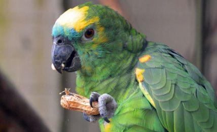 l'invasione-dei-pappagallini-verdi:-cosi-hanno-colonizzato-roma