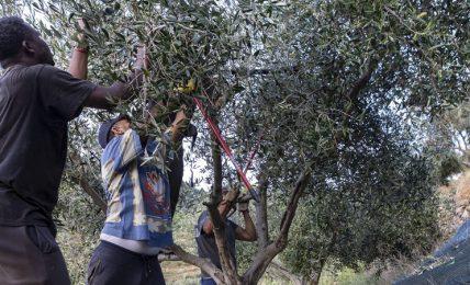 """""""recto-verso"""",-il-progetto-per-insegnare-l'arte-dell'olivicoltura-(e-non-solo)-ai-detenuti-della-gorgona.-intervista-a-beatrice-massaza"""
