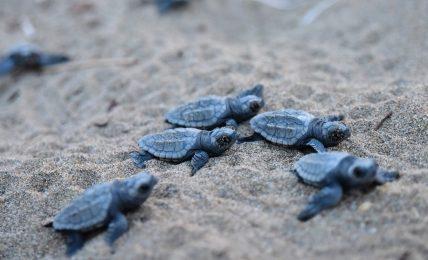 esemplare-di-tartaruga-della-specie-caretta-caretta-nidifica-sulla-spiaggia-di-maratea