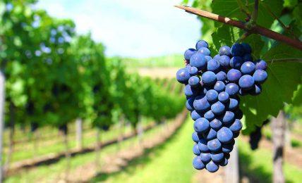 """potenza,-la-""""festa-dell'uva""""-presso-il-mercato-di-""""campagna-amica""""-di-coldiretti"""